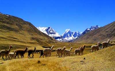 Ламы в горах Перу