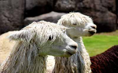 Ламы в Саксайуамане
