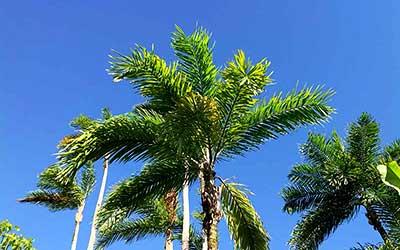 Пальмы церемонии
