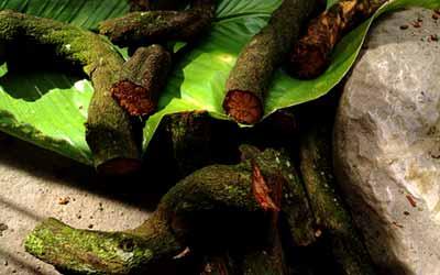 Аяхуаска лиана у шуар