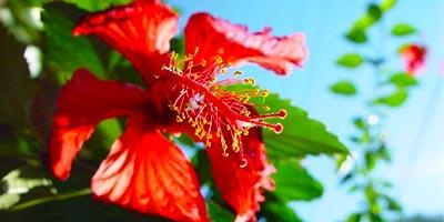 Цветок в Пукальпе