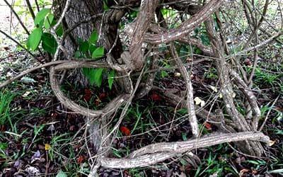 Аяуаска растет в Сюйпино