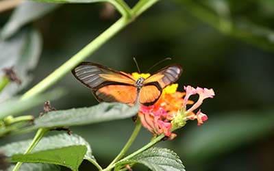 Бабочка церемоний