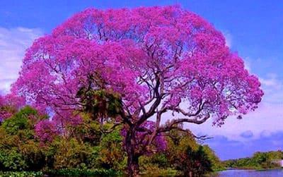 По д`арко дерево