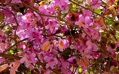 По д'Арко цветок