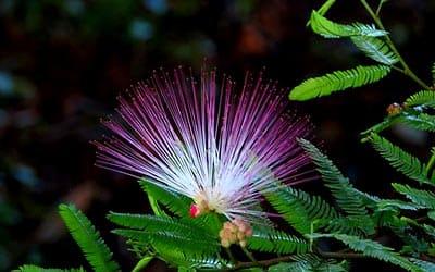 Бобинсана цветок