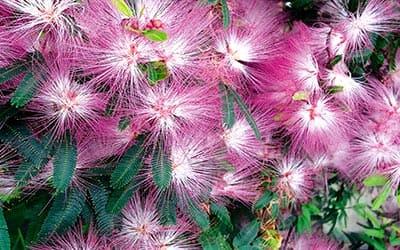 Бобинсана Calliandra-angustifolia