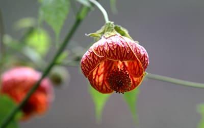 Лечебные растения Перу