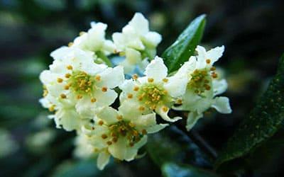 Болдо цветок