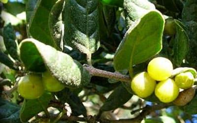 Болдо фрукты