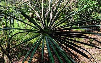 Пальма в Эквадоре