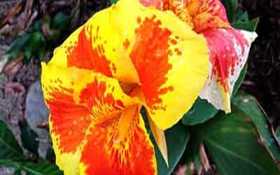 Цветок в деревне шуар