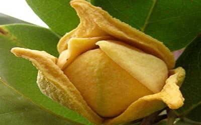 Гуанабана цветок