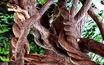 ayahuasca-selva