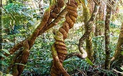ayahuasca-viva