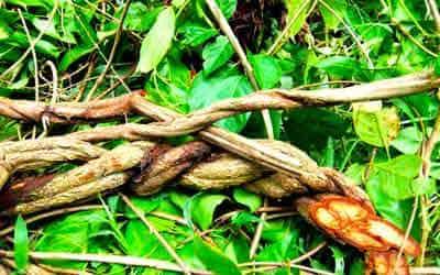 liana-ayahuasca