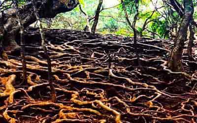 selva-roots