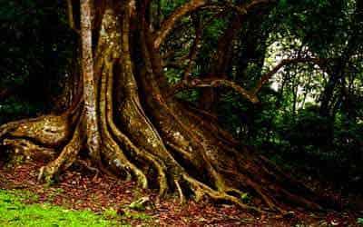 selva-tree