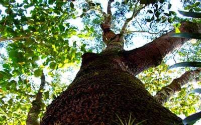 copaiba_tree